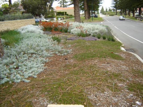 A native verge garden on Broome Street, Cottesloe