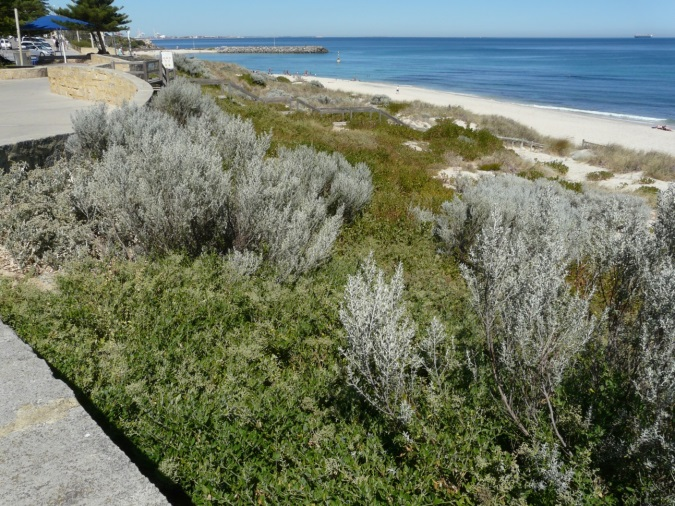 Cottesloe Rehabilitated Dune System 2017